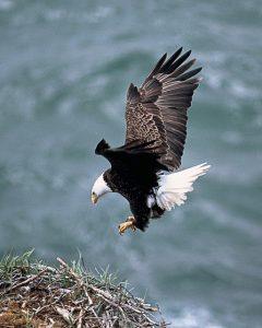 A águia precisa voar